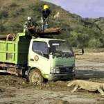 Viral Foto Komodo Vs Truk! Netizen Ramai Bicarakan Kontroversi Pembangunan Jurassic Park di NTT